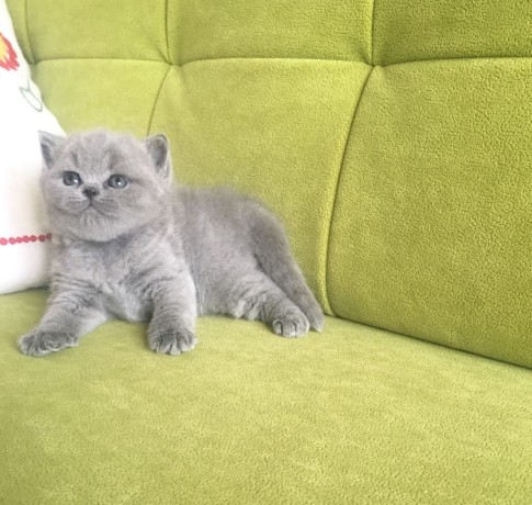 Zapraszam Do Rezerwacji Kotek Z Miotu U Britimepl Koty